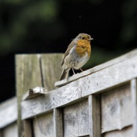 Robin in June